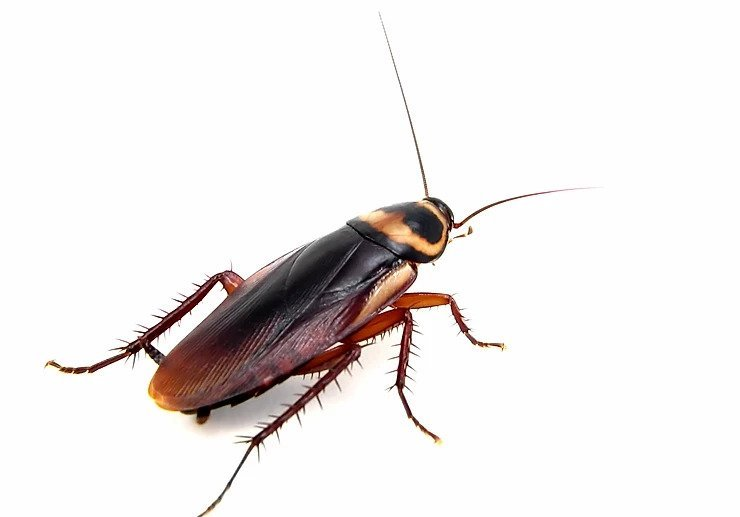 A cockroach against a white background