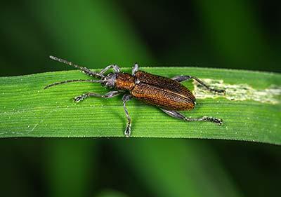 Beetle Pest Control in Henderson, NV