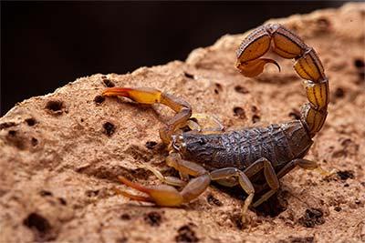 Scorpion Removal