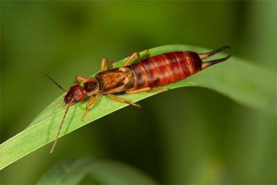 Earwig Pest Control in Las Vegas, NV