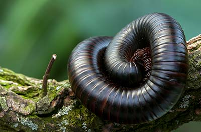 Millipede Pest Control in Henderson