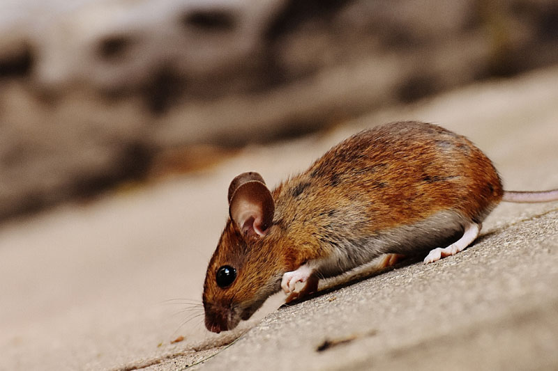 dependable rodents control