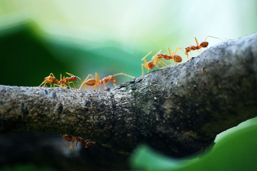 Ants on a tree brunch