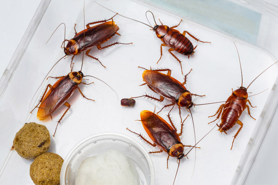 Cockroaches in a clear container with food