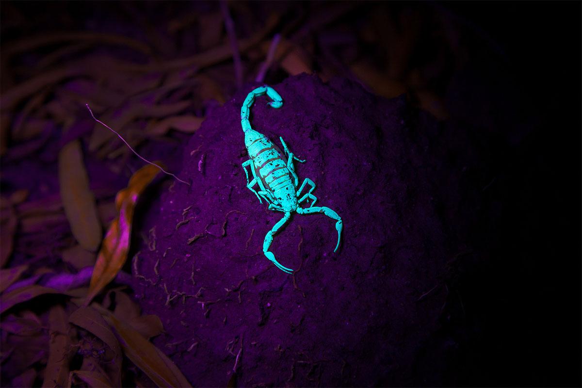 glow in the dark scorpion