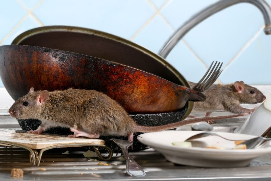 Rodents in a Vegas home on top of the sink eating food