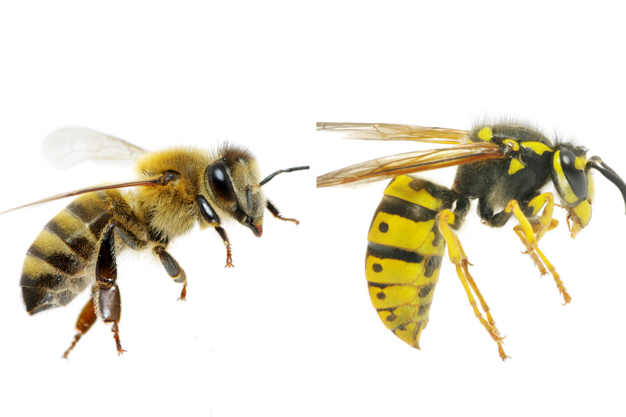 A bee and wasp