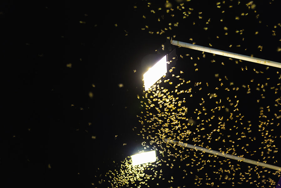 Termite Queen Flying At The Bright Lights.