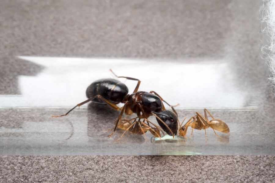 queen ant in comparsion with her colony