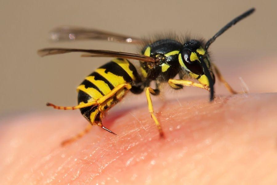wasp stingers on human skin1