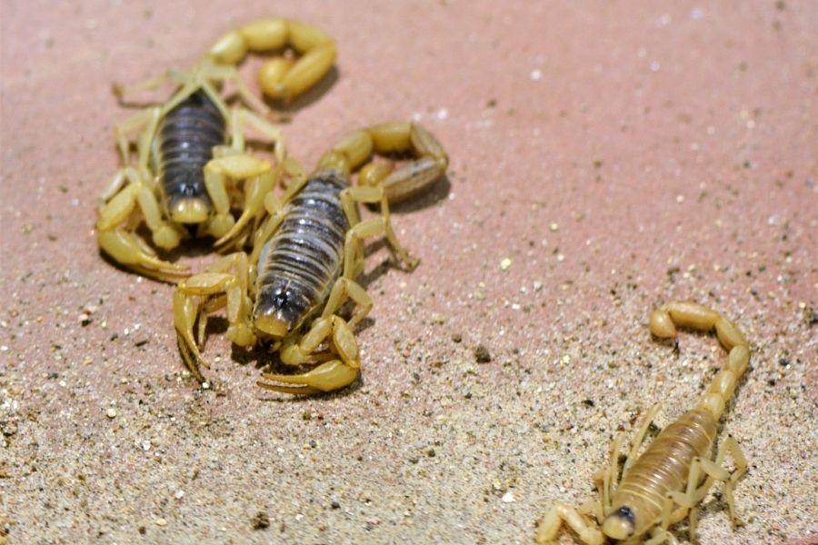 Scorpion family