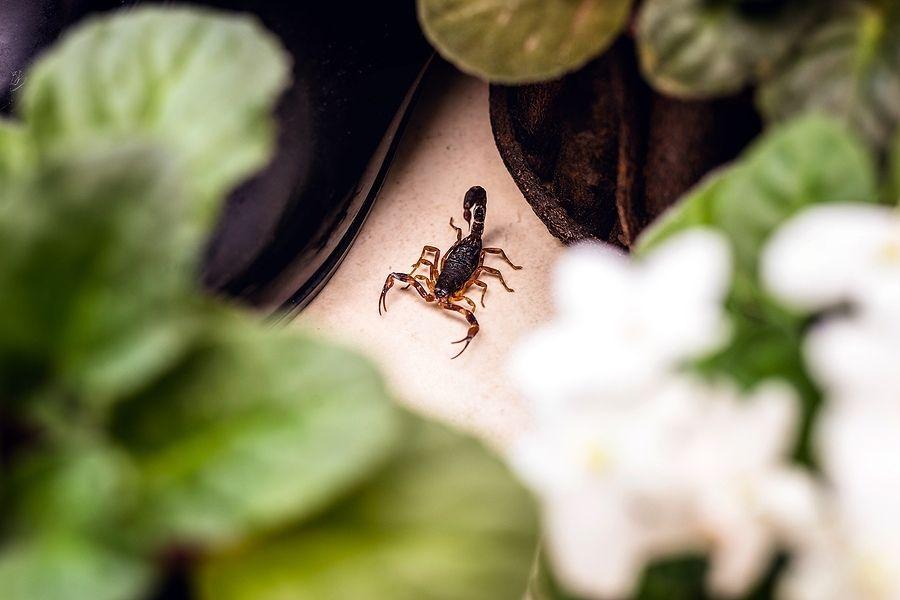 scorpion hiding