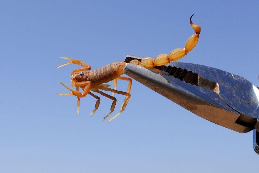 trap scorpion