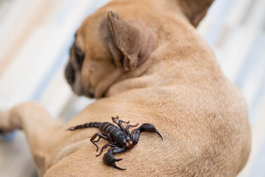 Scorpion on dog